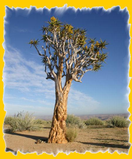 kokerboom.jpg