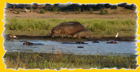 nijlpaarden.jpg