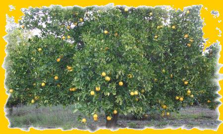 sinaasappelboom.jpg