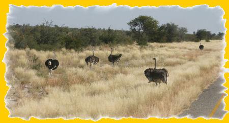 struisvogels.jpg
