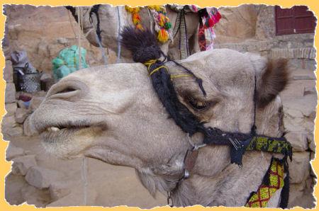berg-kameel.jpg